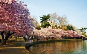 Sakura Tree Wallpaper Hd Google Trsene Sakura Cerisier Fleur