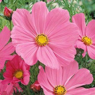 Cosmos Seeds Pinkie Flower Seeds Cosmos Flowers Beautiful Pink Flowers