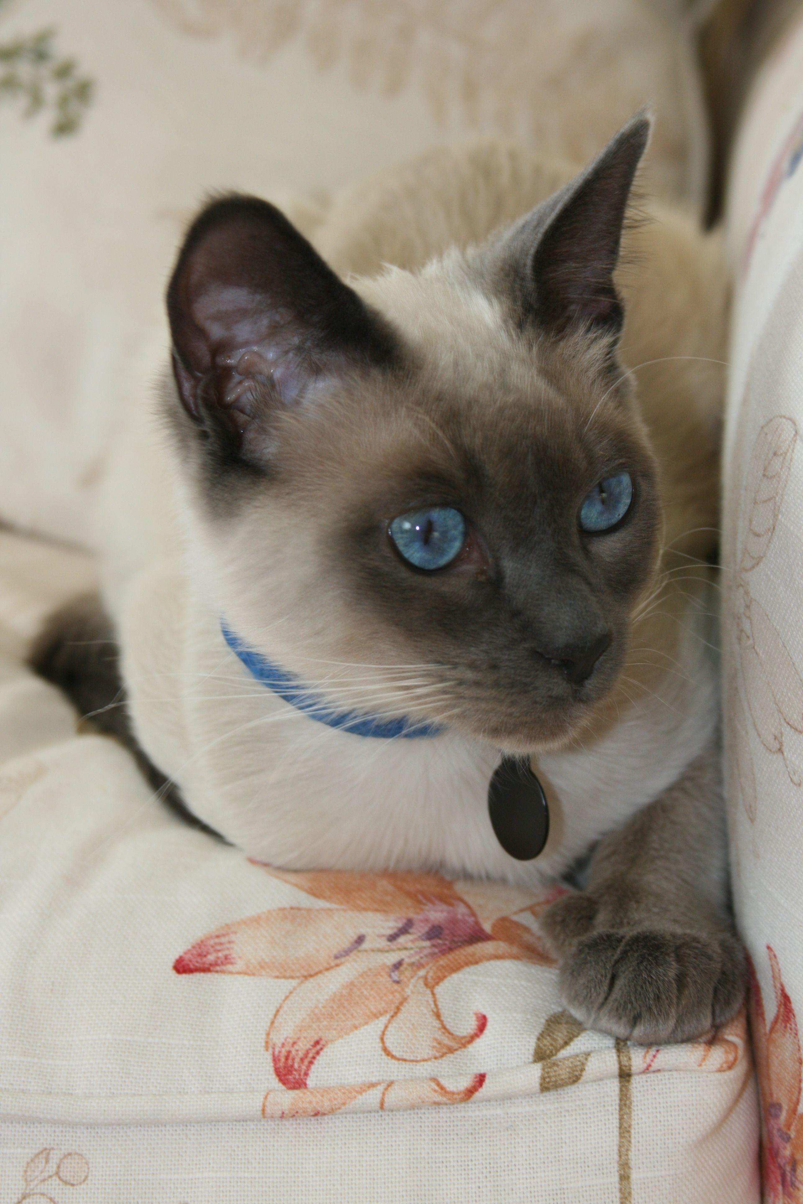 StormHaven Jasper ('True') Cats, Siamese cats, Siamese