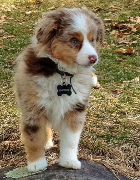 Maverick The Australian Shepherd Aussie Australianshepherd Dogslife Earthoptionspetfood Dogs Australische Schaferhunde Australian Shepherd Welpen Hundebabys