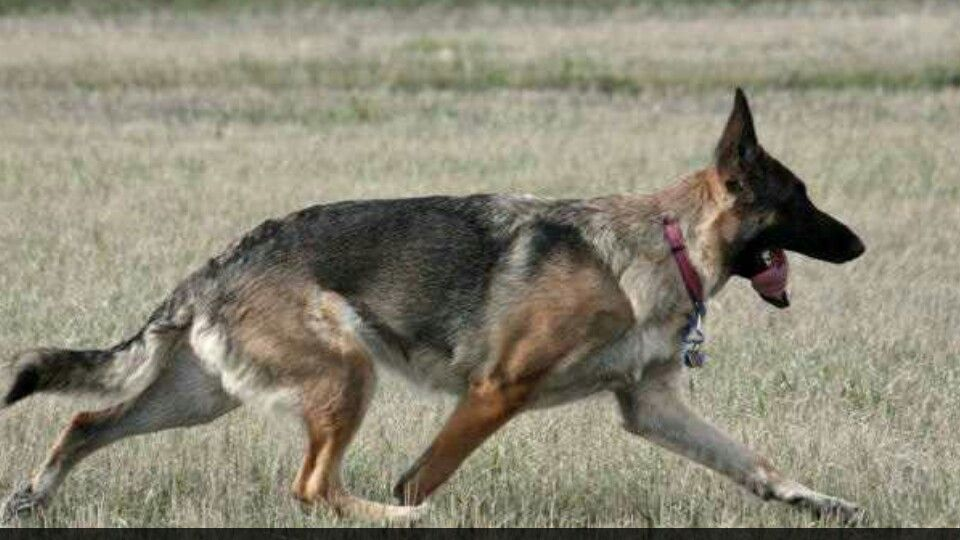 Beautiful American Showline Gsd Gait German Shepherd Gsd