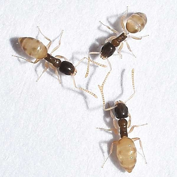 The Ghost Ant Tapinoma Melanocephalum Is Thought To Be Native To Africa Or Asia Though It Is Now Found Worldwide In The Ants Types Of Ants Weird Creatures