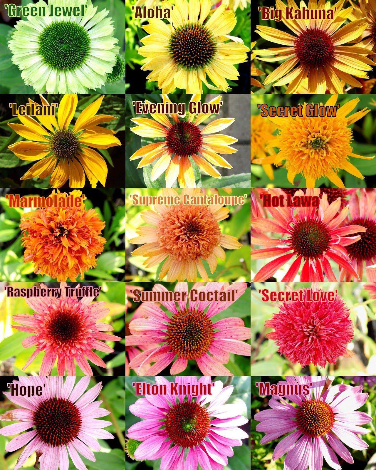 Blog Ogrodniczy Echinacea Czyli Jezowka 15 Zachwycajacych Odmian Echinacea Purpurea Echinacea Plants