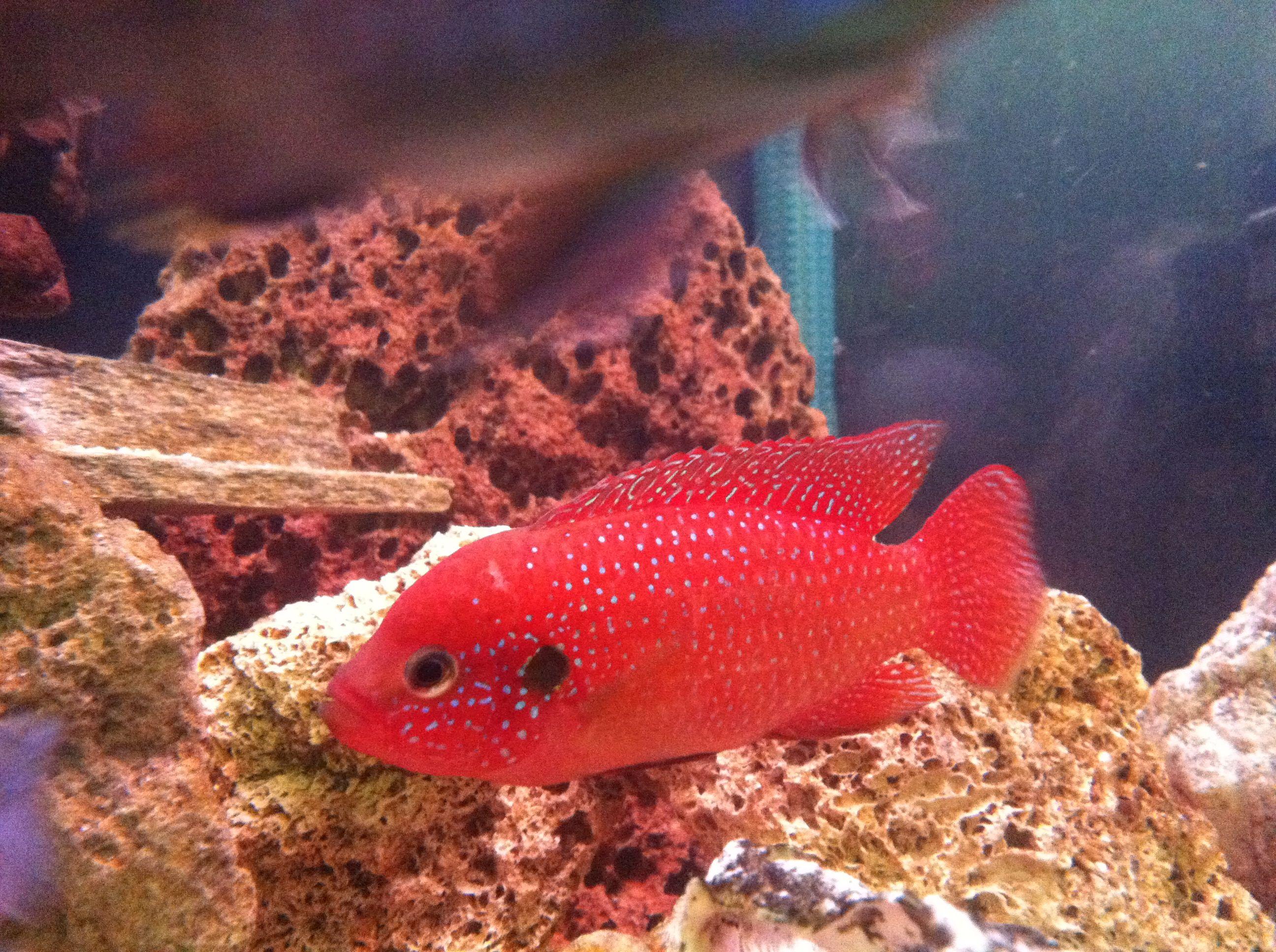 Freshwater jewel fish - Cichlid Jewel Fish