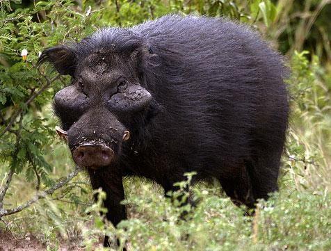 """Giant Forest Hog - America's rare """"Hogzillas"""" might be"""