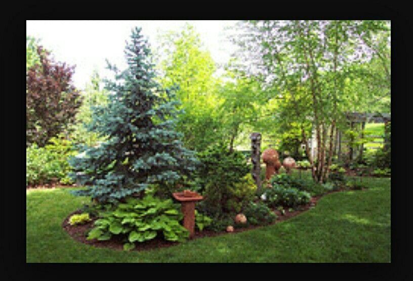 Baby Blue Eyes Spruce 15 20 Ft Garden Landscape Design Landscape Design Front Yard Landscaping