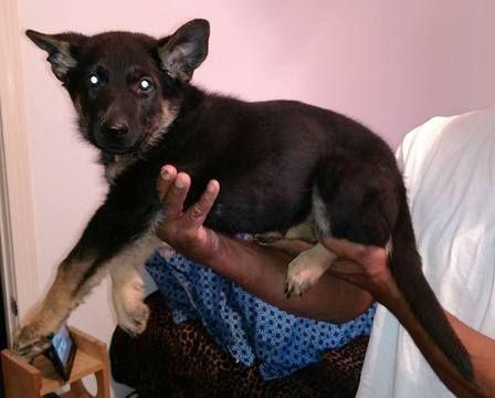 German Shepherd Dog-Siberian Husky Mix puppy for sale in WARREN, MA. ADN