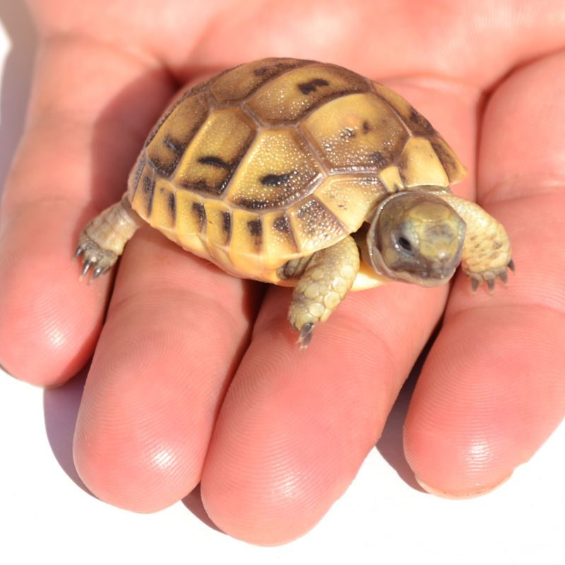 My Turtle Store Baby Golden Greek Tortoises For Sale I Like - Man walks pet tortoise through tokyo