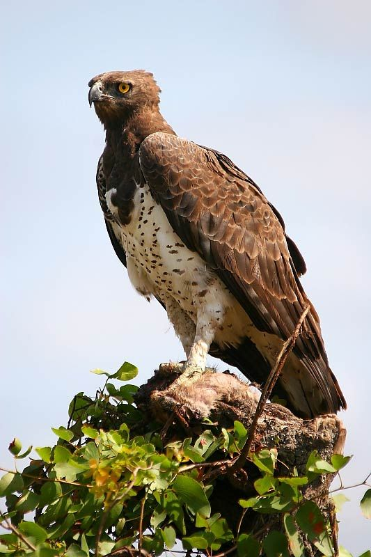 "Martial eagle   Polemaetus bellicosus  ""Like a fighter plane"""