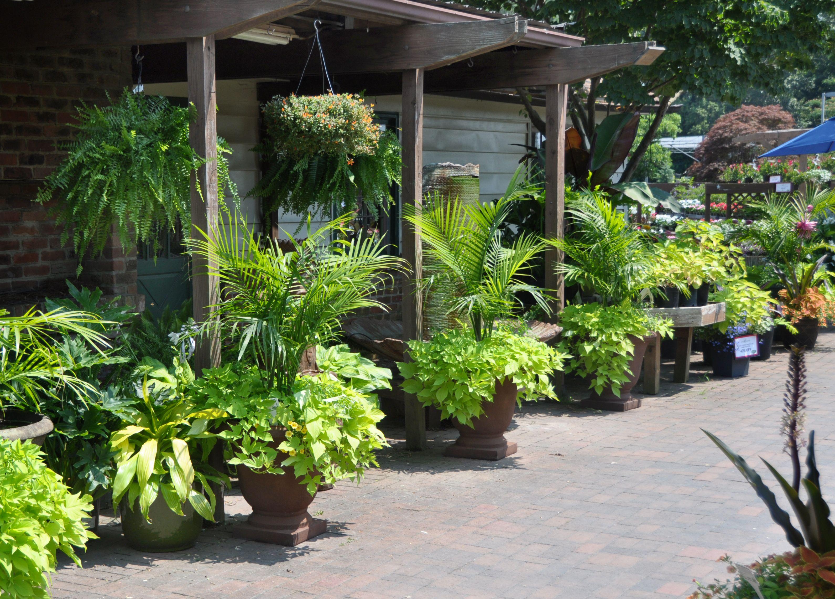 best 25 majesty palm ideas on pinterest outdoor palm plants
