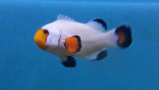 Wyoming White Clownfish Tropical Fish Fish Pet Clown Fish