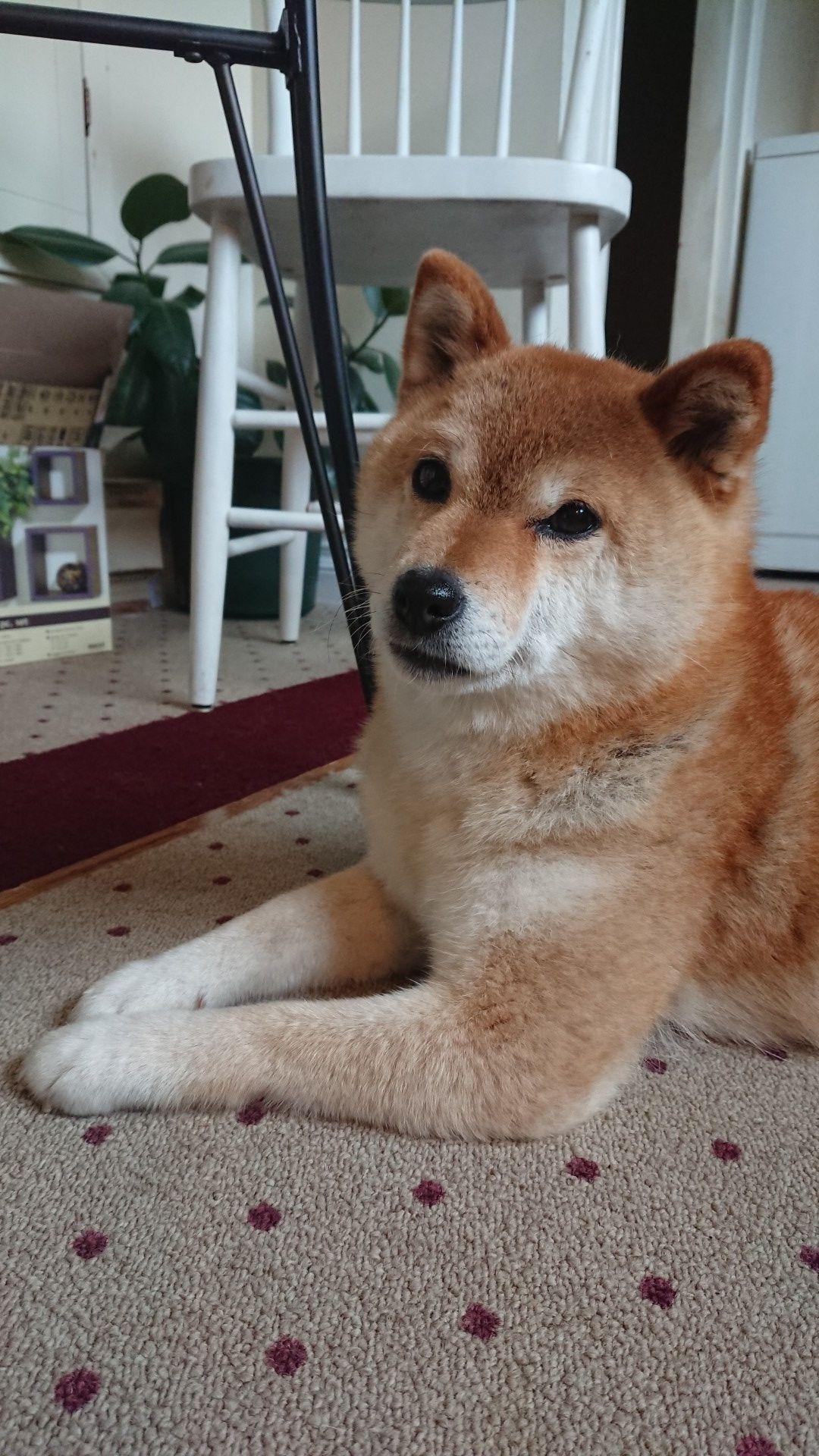 Good Morning Shibainu Shibainupuppies Shiba Inu Puppy