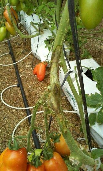 Botrytis en tomate: raspado para sanear la herida ocasionada por la enfermedad, si llega a la médula el tratamiento ya no es eficaz. Cuidado con esta época del año Hay que dar brocha curativa,  tipo bioban,  siga die,  curaton ql o clasico: mancoceb (vondozeb)  switch
