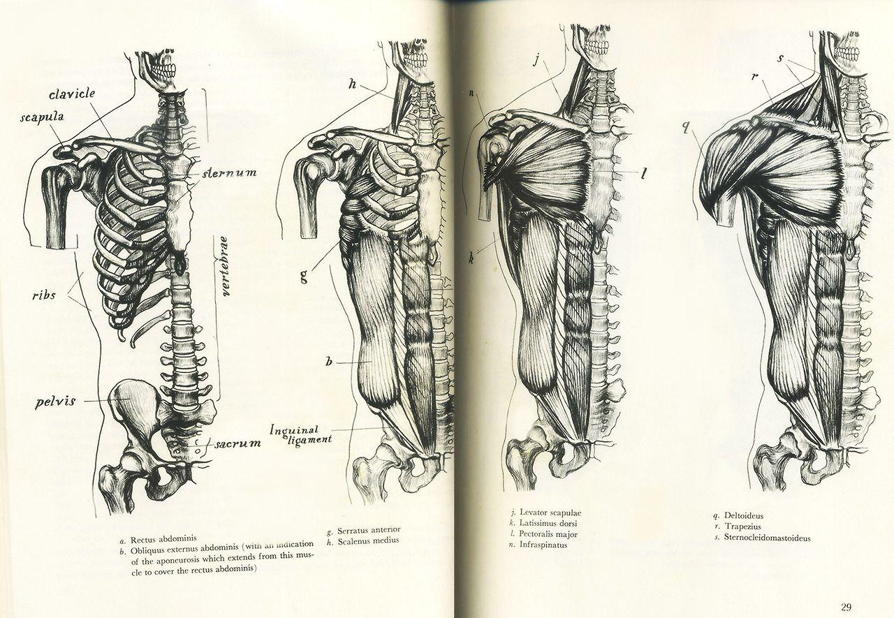 Pin de Luis Fernando en Anatomia   Pinterest   Anatomía, Dibujo de ...