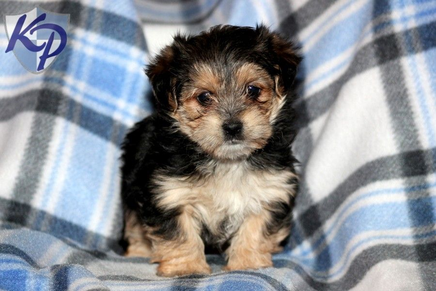 Puppy Finder Find Buy A Dog Today By Using Our Petfinder With Images Puppies Buy A Dog Poodle Puppy