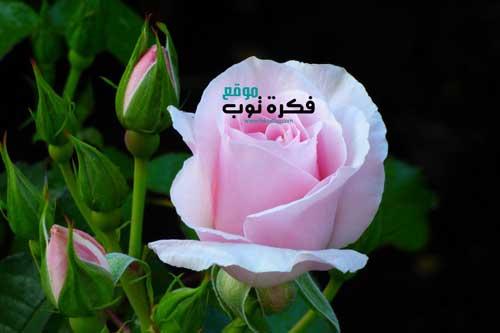 أجمل صور زهور طبيعية خلفيات ورود جميلة جدا جودة عالية Hd 9 Plants Rose Flowers