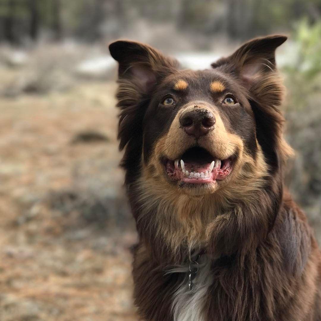 Australian Shepherd Rottweiler Mix Named Hayden With Images