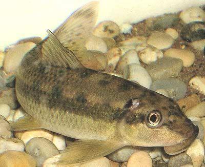 Pin En Suckers N Scavengers Fish