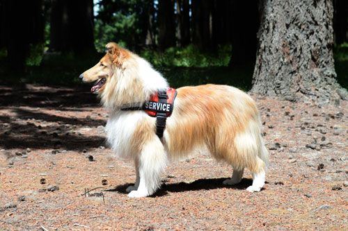 5 Collies Who Are Real Life Lassies Dogs Of The World Collie