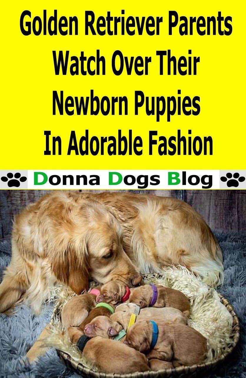 Golden Retriever Parents Watch Over Their Newborn Puppies In
