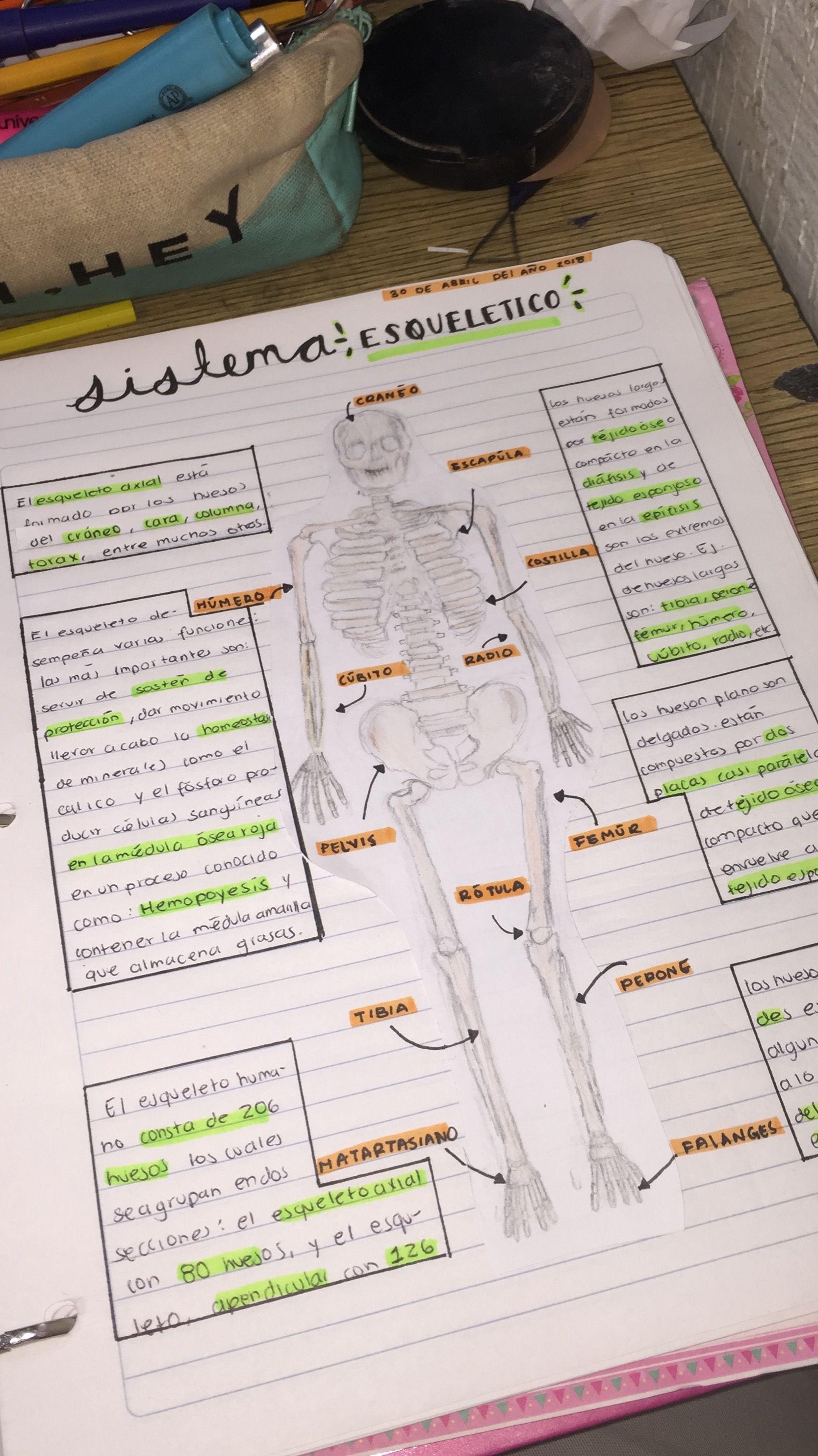 Sistema esqueletico | tareas | Pinterest | Sistema esquelético ...