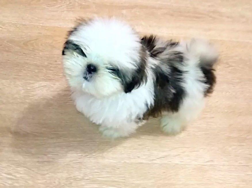 33 Chinese Shih Tzu Dog Names Dog Names Shih Tzu Dog Shih Tzu
