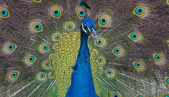 Peafowl San Diego Zoo Animals Coloring Pages Pinterest Peafowl