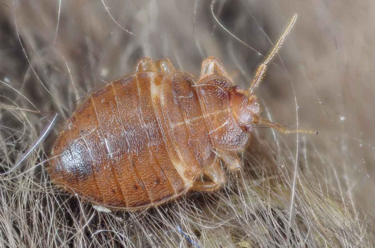 Bed Bugs May Be Splitting Into New Species Bed bugs, Bed