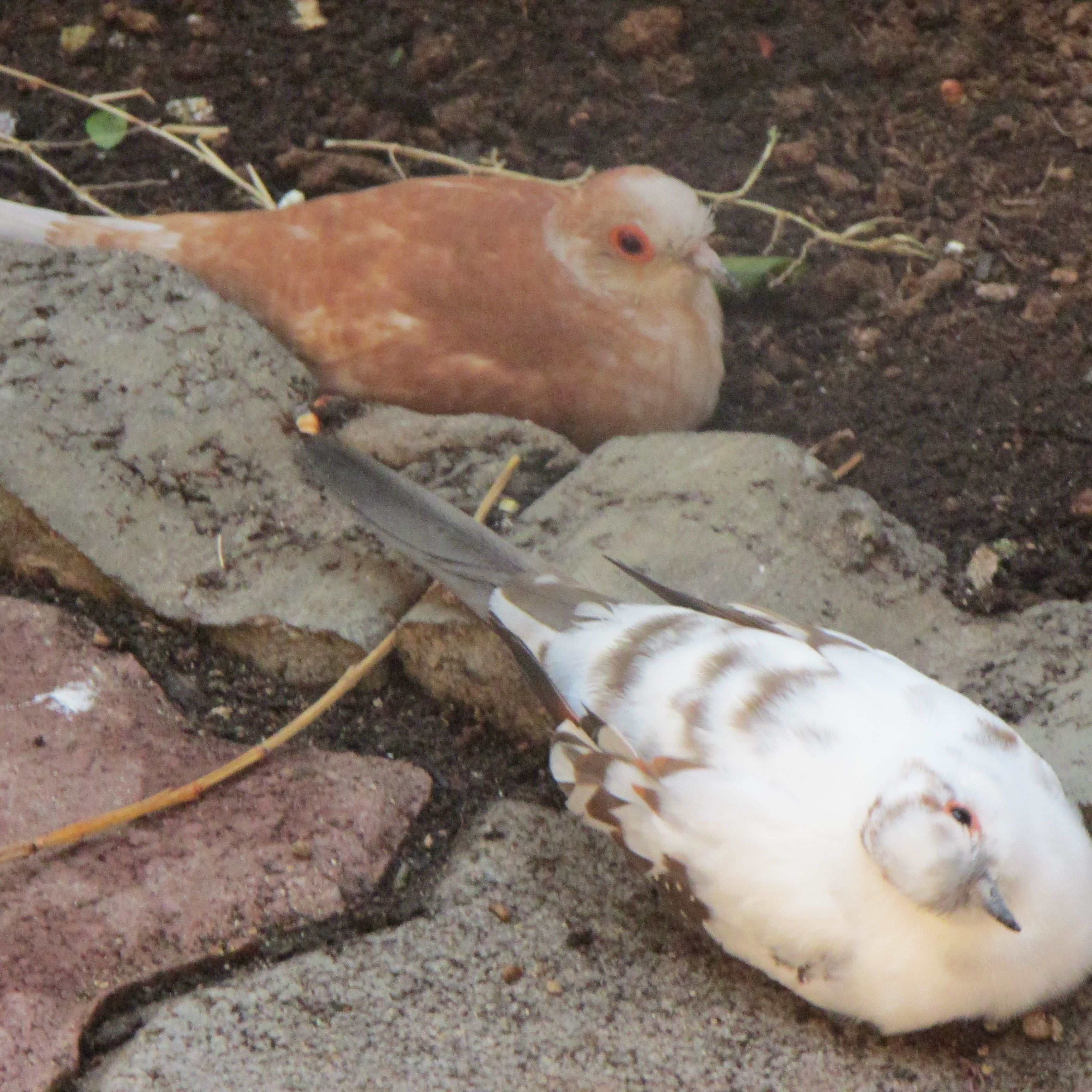 Twilight Blue Pied Female Diamond Dove In Front And Ginger