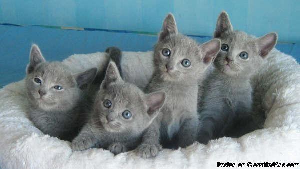 Hypoallergenic Russian Blue Kittens 11 Weeks Price 350