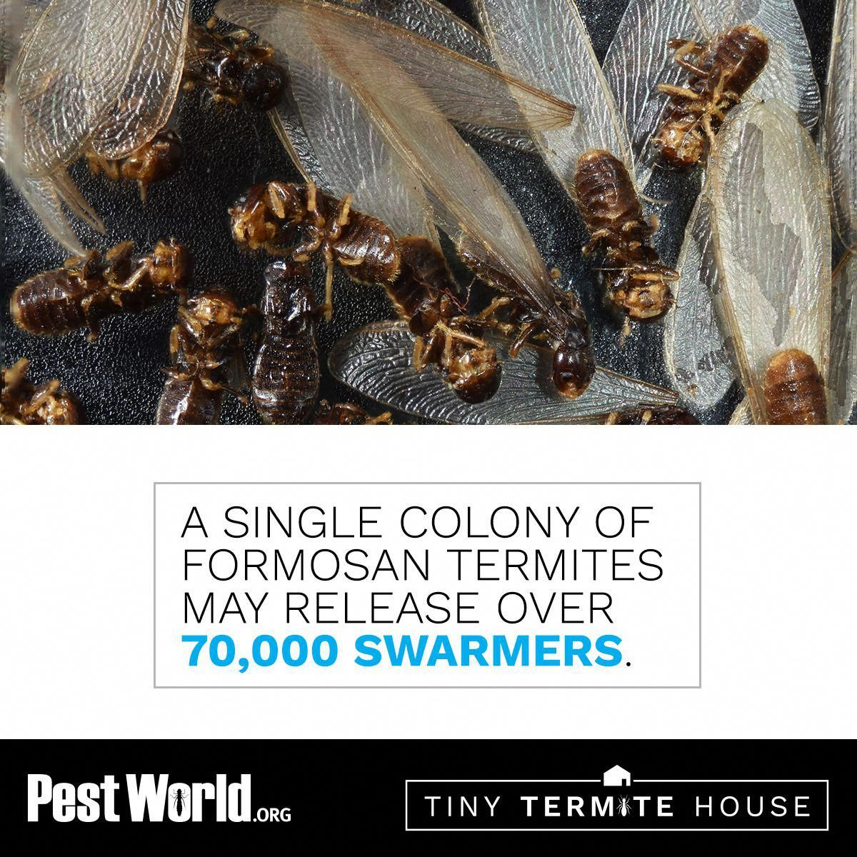 You Re Not Going To Want Termite Swarmers Around Your Home Learn More About Formosan Termites Here Subterraneante Termites Termite Control Termite Treatment