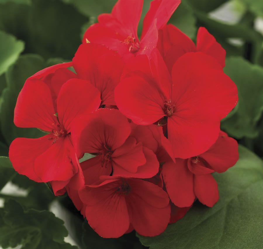 Geranium Calliope Scarlet Fire Geraniums Pinterest Red