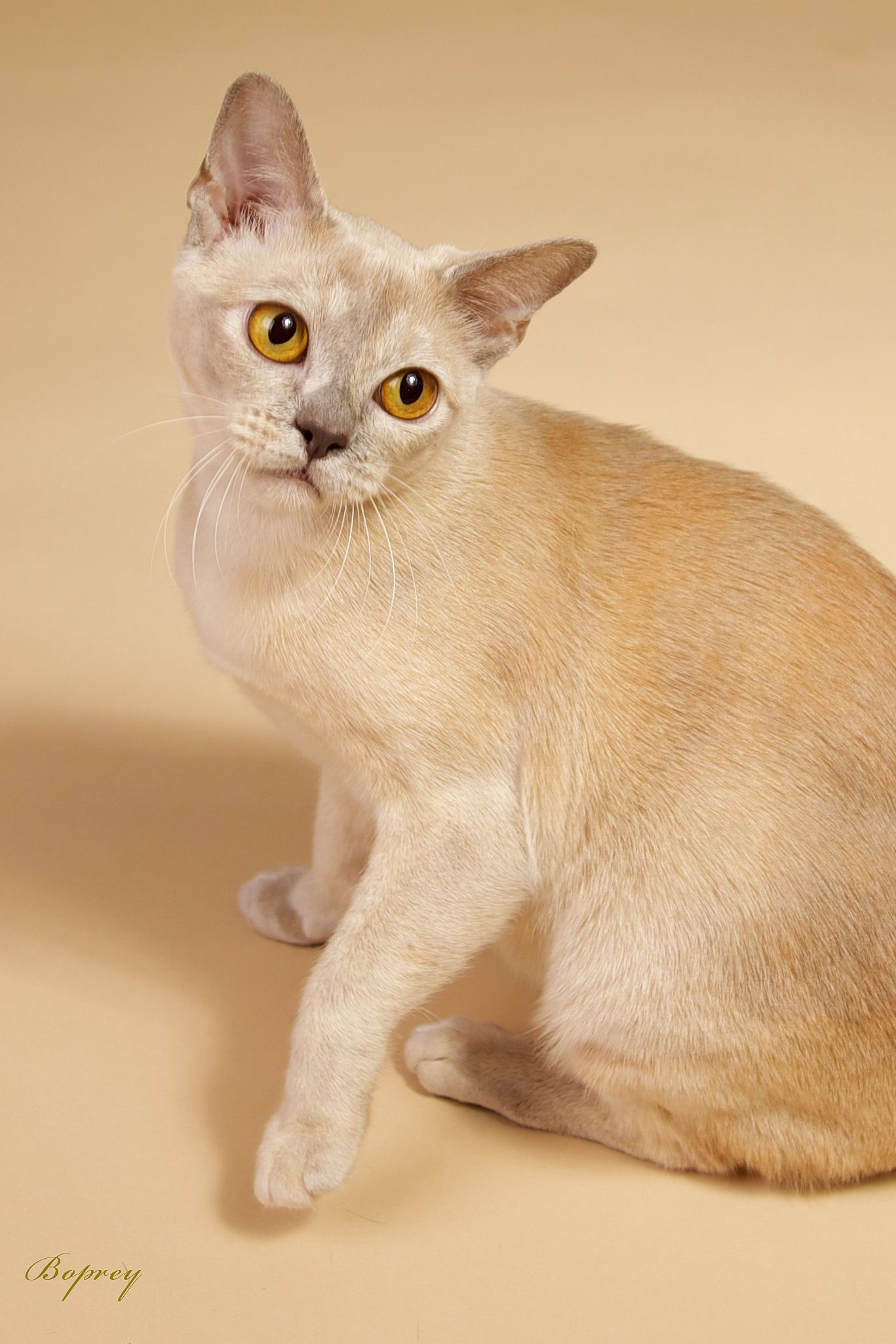 Breed Profile The European Burmese Burmese Kittens Burmese Cat Cat Breeds Siamese