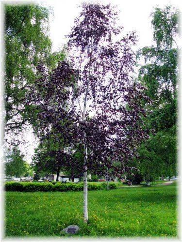 betula pendula 39 purpurea 39 b borlevel ny r f k pinterest for t et vegetal. Black Bedroom Furniture Sets. Home Design Ideas