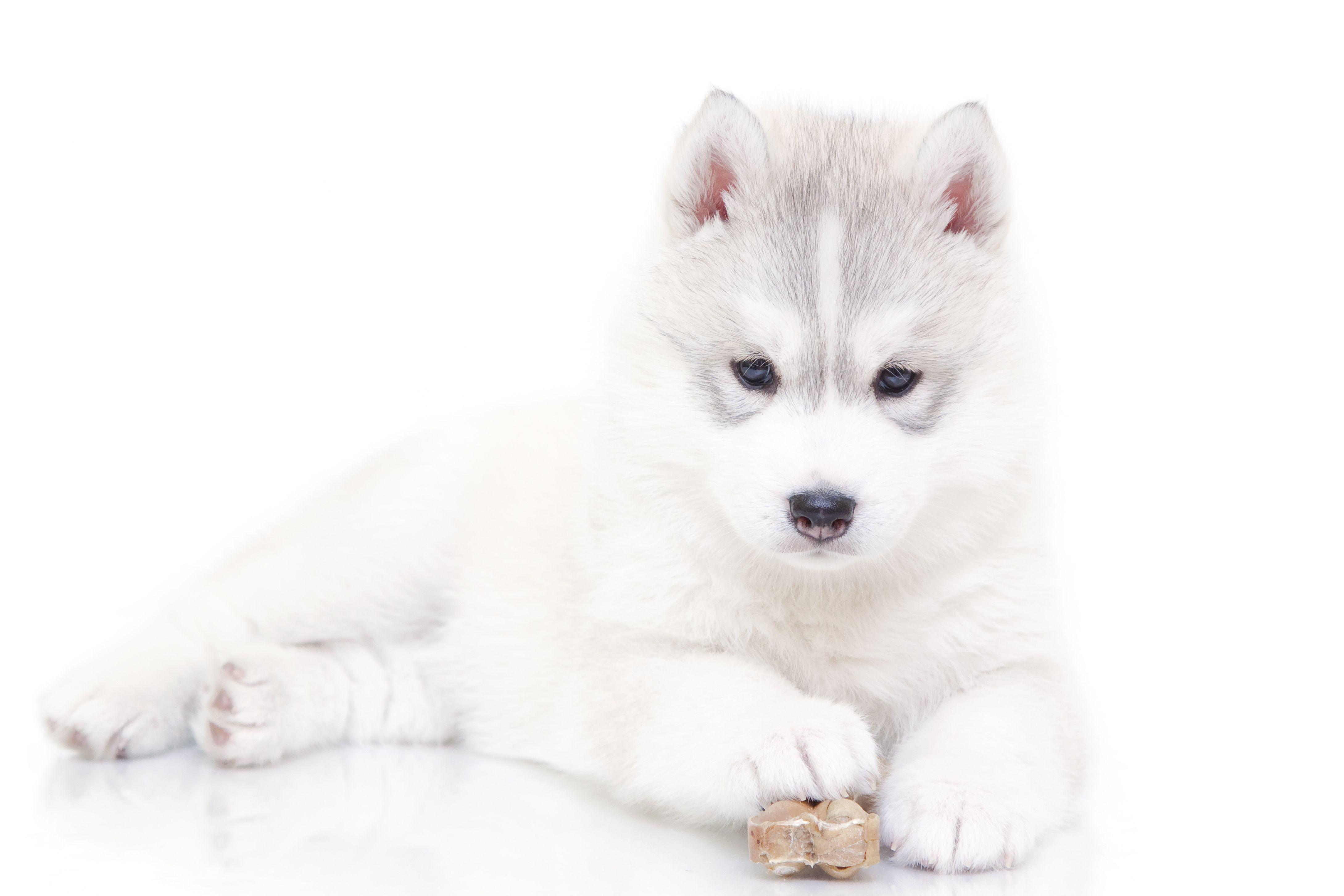 Siberian Husky Puppy Friendship Puppy Dog Pets Puppies