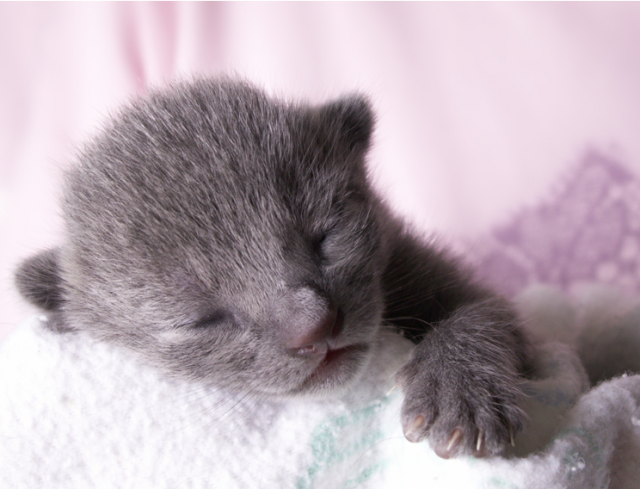 Newborn Russian Blue Kitten 동물