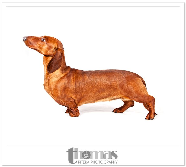 Best In Show Dachshunds Dog Show By Thomas Pitera Photography
