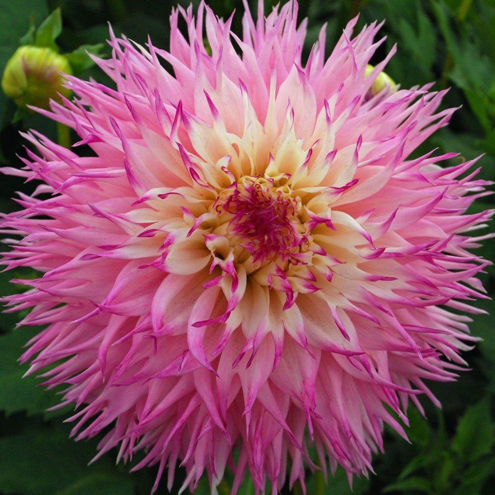 Dahlia Pinelands Princess X 1 Tuber. Dinner Plate Dahlia With Giant Flower  Heads