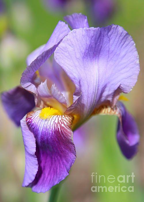 http://pixels.com/featured/soft-colors-iris-carol-groenen.html?newartwork=true
