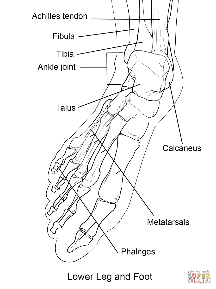 Human Foot Bones coloring page from Anatomy category