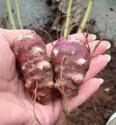 Topinambur Anbauen Im Garten Im Topf Topinambur Pflanzen Topinambur Pflanzen