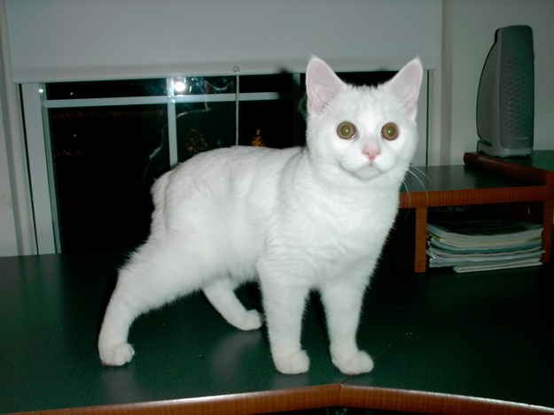 Odd Eyed Cats Are Felines With Heterochromia Iridum Meaning An Individual Has One Blue Eye And One Eye That Is Either Green In 2020 Angora Cats Pretty Cats White Cats
