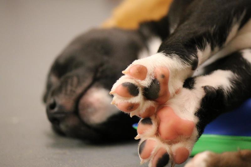 Adopt Alice on Baby pen, Pitbull terrier, Adoption