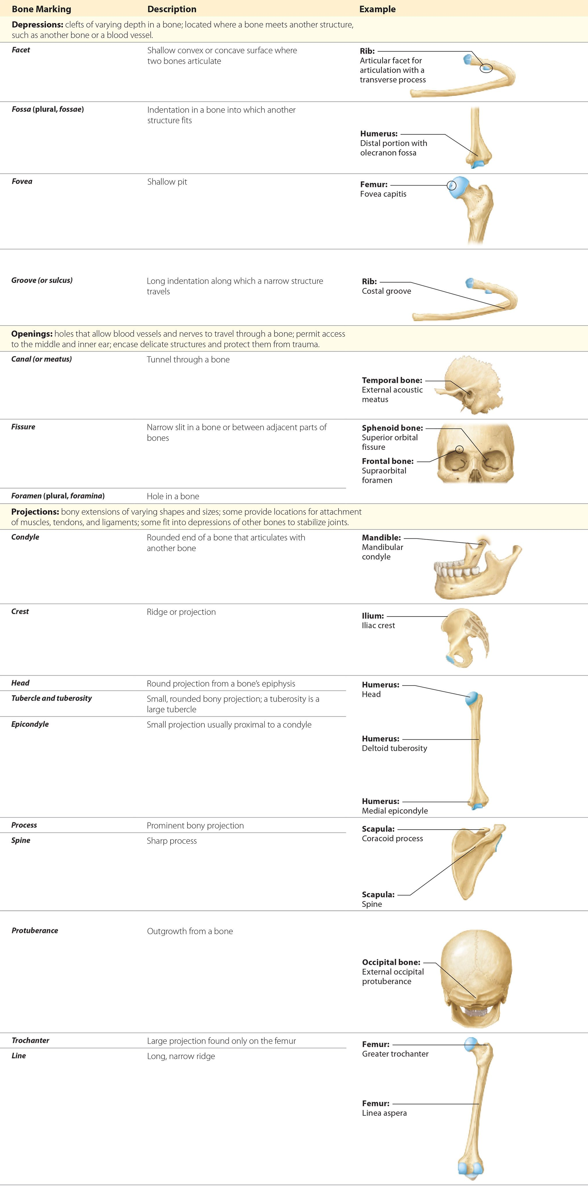 Module 71 Overview Of The Skeletal System Anatomy Pinterest