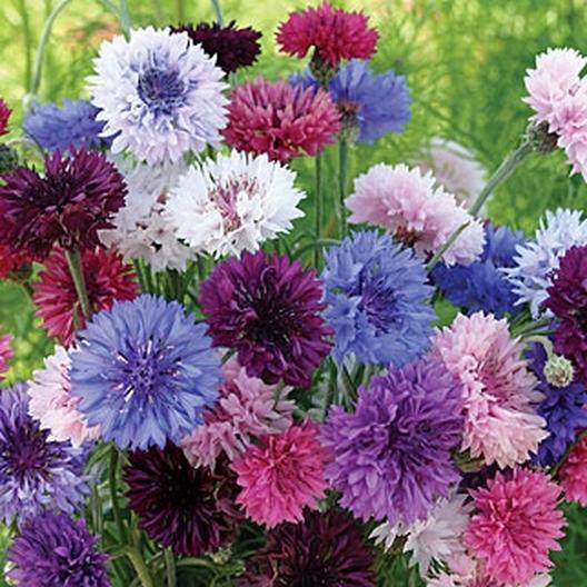Cornflower Bachelor Button Tall Mix Seeds Flower Garden Plans Bachelor Button Flowers Flower Landscape