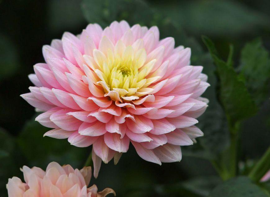 Chrysanthemum Facts And Health Benefits Chrysanthemum Morifolium Popular Flowers Flowers