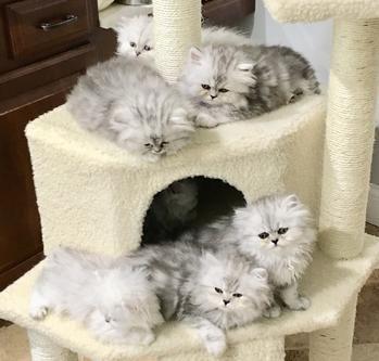Teacup Persian Kittens Powderpuff Persians Teacup Persian Kittens Kittens Persian Kittens For Sale