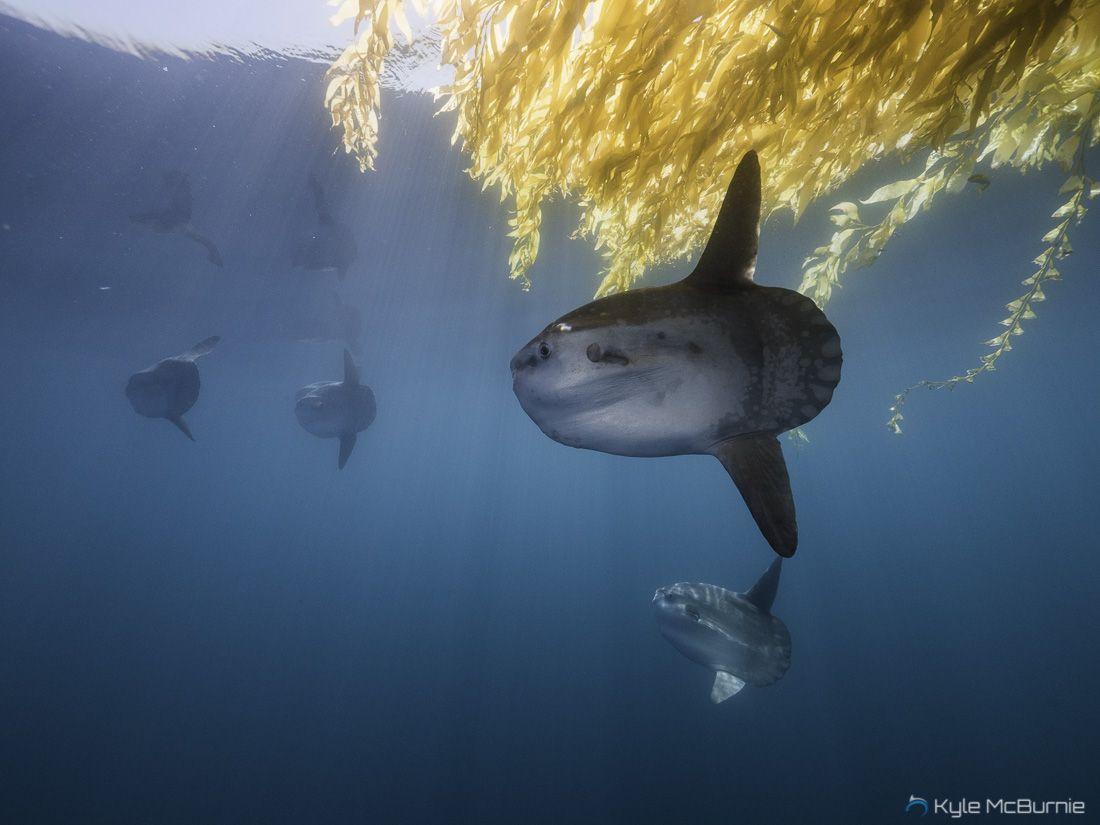 Design muse shark week - Beautiful School Of Mola Mola Ocean Sunfish Under A Kelp Paddy In San Diego