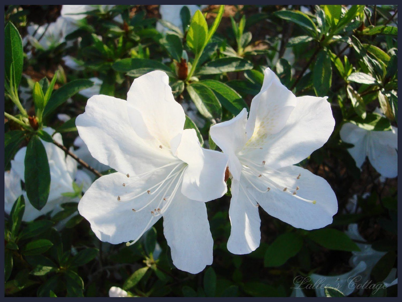 Azalea Rhododendron 'GG Gerbing' White Live Flowering