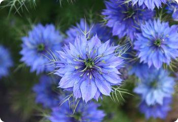 Nigella Damascena Miss Jekyll Blue Seeds Love In A Mist Rose Companion Plants Nigella Flower Seeds